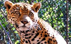zoomat_jaguar_tuxtlagutierrez